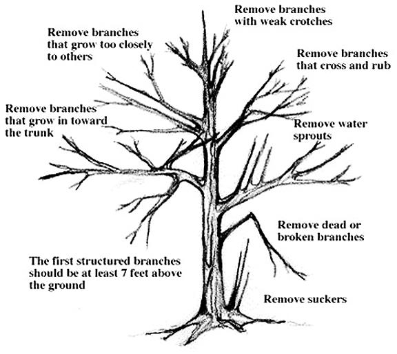 Roadside Vegetation Management Manual Pruning Guidelines