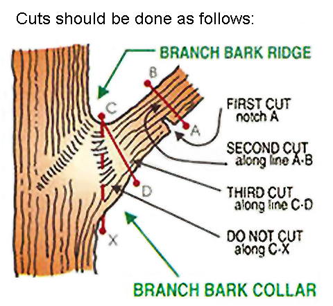 The three step method in proper limb pruning click in image to see